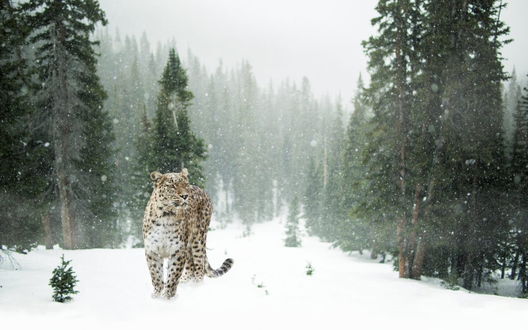Courage to Face the Snow Cats